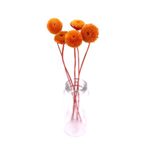 橙色紐扣花乾花