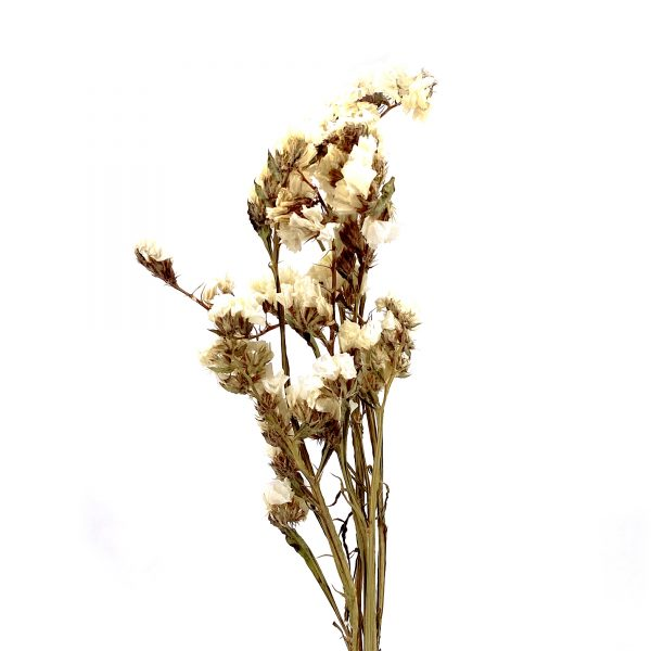 米白色勿忘我乾花