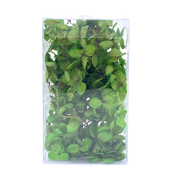 繡球花保鮮花-草綠