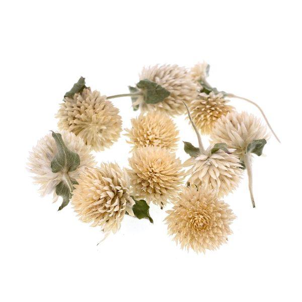 千日白乾花