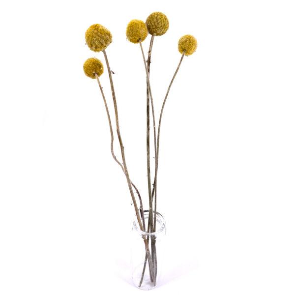 天然黃金球乾花