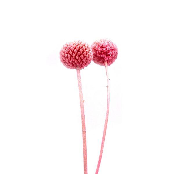 粉紅色黃金球乾花